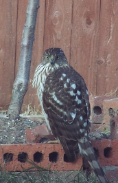 Hawk in Backyard